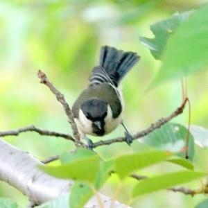 6/16探鳥記録写真-2(はまゆう公園の鳥たち:ウグイス、シジュウカラ、ホオジロ、ムクドリ、)