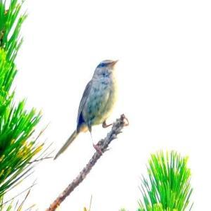 6/17探鳥記録写真-2(はまゆう公園の鳥たち:ウグイス三昧)
