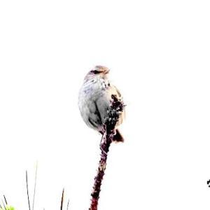 6/20探鳥記録写真-2(はまゆう公園の鳥たち:ウグイス、ホオジロ、ムクドリ)