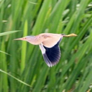 6/21探鳥記録写真-2(ヨシゴイの初見、初撮り)