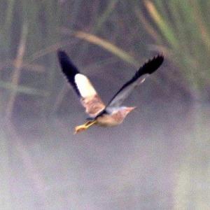 6/23探鳥記録写真(某池のヨシゴイ&アマサギの群②)