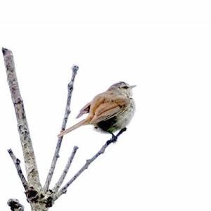 6/24探鳥記録写真-2(はまゆう公園の鳥たち:ウグイス、ホオジロ、)