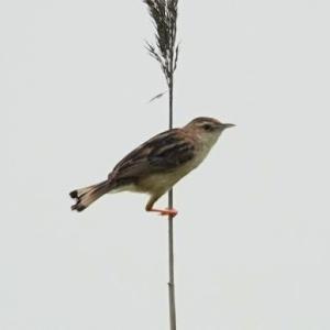 6/24探鳥記録写真-3(響灘ビオトープの鳥たち:セッカ、ホオアカ、モズ、チュウヒほか)