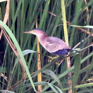 7/25探鳥記録写真(某池の鳥たち:ヨシゴイ、アマサギ、ダイチュウサギ、)