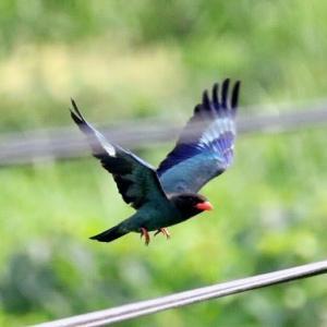 7/27探鳥記録写真-2(7月中旬に出会った鳥たち:ブッポウソウ、ヨシゴイ、シロガシラ、セッカ、ホオアカ、ホオジロ、ほか)