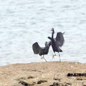 7/27探鳥記録写真(狩尾岬の鳥たち:戯れる2羽のクロサギ、ミサゴ)