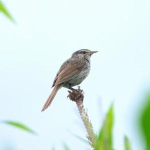 8/03探鳥記録写真-2(はまゆう公園の鳥たち:ウグイス、シジュウカラ、コゲラ、ホオジロ、)