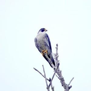 9/17探鳥記録写真(狩尾岬の鳥たち:ハヤブサ、イソヒヨドリ、アオサギ、クロサギ、トビ、)