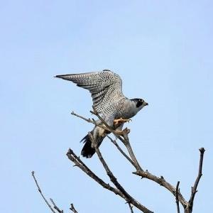 9/18 探鳥記録写真:9月上旬に出会った鳥たち(ハヤブサ、キアシシギ、セイタカシギ、トウネン、クロサギ、ミサゴ、イソヒヨドリほか)