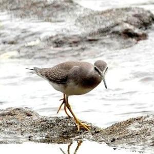 9/19探鳥記録写真(狩尾岬の鳥たち:キアシシギ、ダイサギ&クロサギのツーショット、イソヒヨドリ)