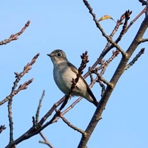 9/23探鳥記録写真(芦屋町:魚見公園の鳥たち:エゾビタキ、コサメビタキ、コゲラ、エナガほか)