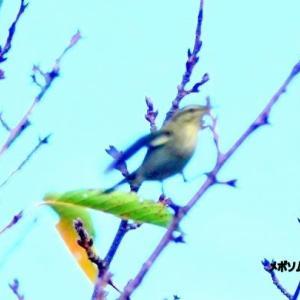 9/24探鳥記録写真-2(芦屋町:魚見公園の鳥たち:メボソムシクイ、コサメビタキ、コゲラ、イソヒヨドリほか)