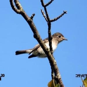 9/24探鳥記録写真:9月中旬に出会った鳥たち(コサメビタキ、エゾビタキ、ハチクマ、ハヤブサ、キアシシギ、クロサギ、ミサゴ、イソヒヨドリほか)