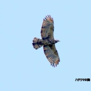 9/25探鳥記録写真-2(高塔山公園の鳥たち:ハチクマの舞)