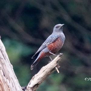 9/26探鳥記録写真(狩尾岬の鳥たち:イソヒヨドリ♂&♀、クロサギ、)