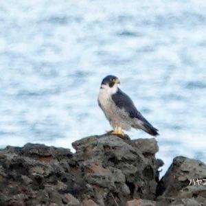9/27探鳥記録写真(狩尾岬の鳥たち:ハヤブサ、イソヒヨドリ、クロサギ、ほか)