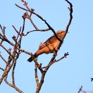 9/28探鳥記録写真(芦屋町:魚見公園の鳥たち:アリスイ、エゾビタキ、シジュウカラ、ほか)