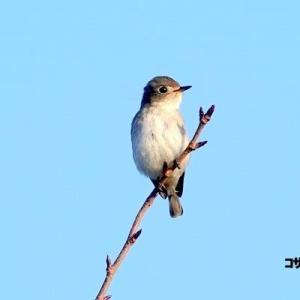 10/20探鳥記録写真-2(芦屋町:魚見公園の鳥たち:コサメビタキ、シジュウカラ、ヤマガラ、メジロ、キジバトほか)
