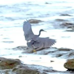 10/20探鳥記録写真(狩尾岬の鳥たち:クロサギ、イソヒヨドリ♂&♀、)