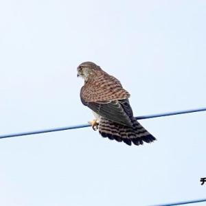 10/22探鳥記録写真-2(某農地のノビタキ&チョウゲンボウ)