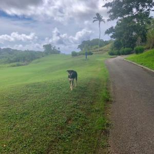 ゴルフそっちのけで/ Guam's Best Kare Kare at Gold Club Sunday Brunch