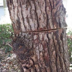 大阪市西淀公園に木に切り込みの被害、なんのため?