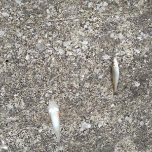シロギスの投げ釣り1(内房)