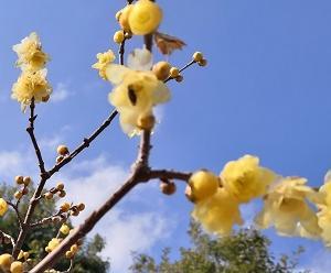 春の花、「ロウバイ」の香りに癒されました♪