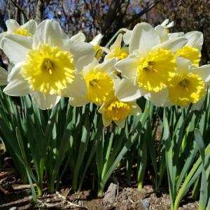チューリップまつり。サクラ開花。
