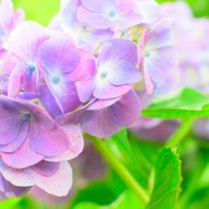 かざはやの里へ紫陽花を見に。