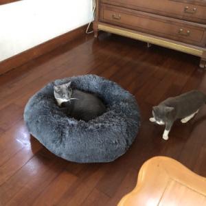 新入りネコのビジュー。
