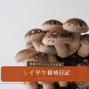 自家製シイタケを育てよう!栽培6日目、シイタケらしくなってきた!