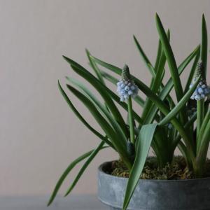 花のある暮らし|ムスカリの鉢をちょっとだけアレンジして可愛くしました!