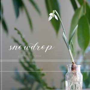 清楚な花、スノードロップを水耕栽培風に楽しんでみました♡
