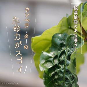 観葉植物のある暮らし|ウンベラーターの生命力に驚く。