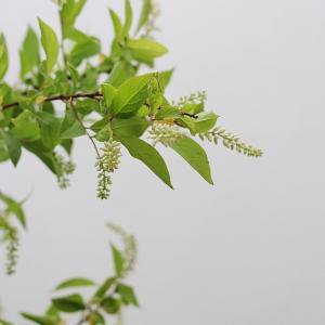 シンプルに枝を活ける 今月はリョウブ