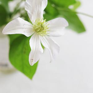 花がある暮らし|風情のあるクレマチス