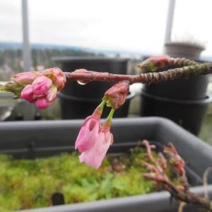 ロックダウンで桜の季節の風景に異変
