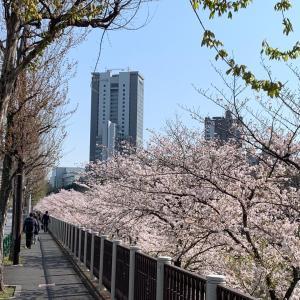神田川の桜 〜朝と夜〜