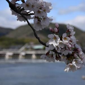 桜と、再び、マフィン