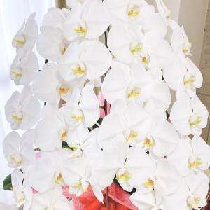 誕生日の胡蝶蘭♬