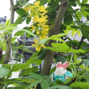 【季節の楽しみ】キングサリが咲きました