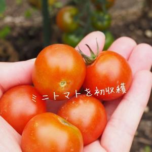 【家庭菜園】ミニトマトを初収穫