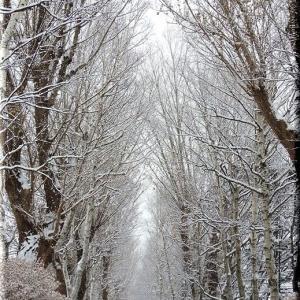 雪のポプラ並木