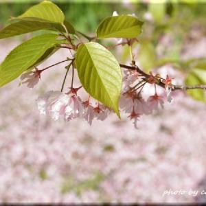 花の散るらむ(平岡樹芸センター)