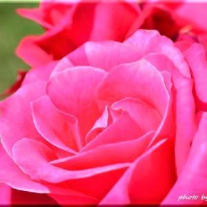 薔薇の香 2