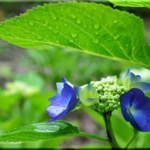 紫陽花(豊平公園)