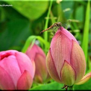 蓮の花は仏の花