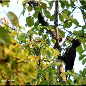 クマゲラと木の実