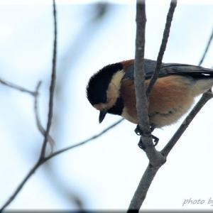 野幌森林公園の小鳥たち